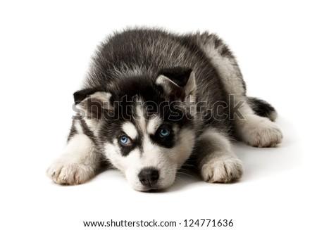 Adorable black and white with blue sleepy eyes Husky puppy. Studio shot. Isolated on white background. - stock photo