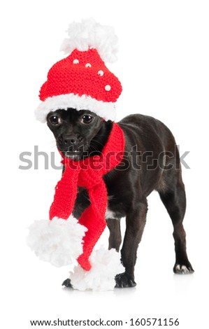 adorable black dog in clothes - stock photo