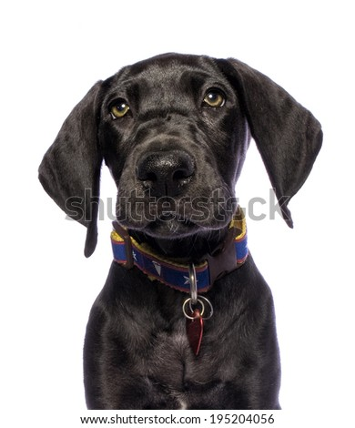 Adorable black Great Dane puppy head shot isolated on white background - stock photo
