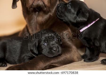 Good Labrador Black Adorable Dog - stock-photo-adorable-black-labrador-puppies-with-their-mother-697170838  Pictures_817632  .jpg