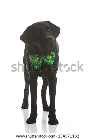 Adorable black labrador retriever dressed for St. Patrick's Day. - stock photo