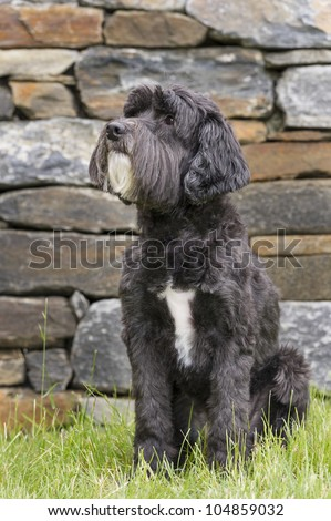 Adorable black Portuguese Water Dog sitting in grass - stock photo