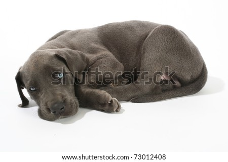 Adorable Blue Great Dane puppy isolated on white with beautiful blue eyes. - stock photo