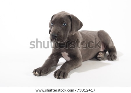 Adorable Blue Great Dane puppy isolated on white with beautiful blue eyes.