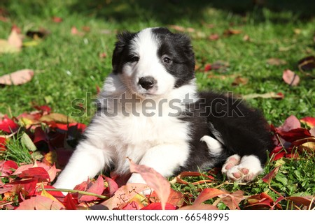 Adorable Border Collie puppy - stock photo