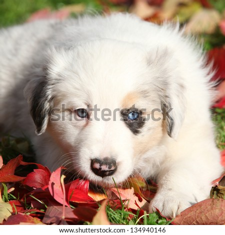 Adorable border collie puppy lying in red leaves in autumn