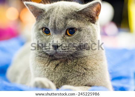 Adorable britan gray cat with orange eyes sitting and looking at camera - stock photo
