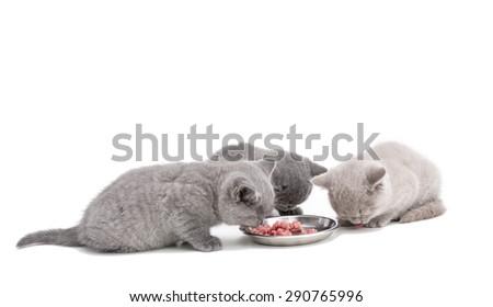 Adorable british little kitten eating meat on white  - stock photo