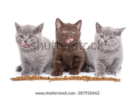 Adorable british little kitten eating on white. British Cat kitten . Little Cat kitten. Adorable Cat kitten. Funny Cat kitten. Gray Cat kitten - stock photo