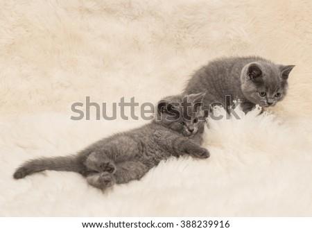 Adorable british little kitten posing on wool - stock photo