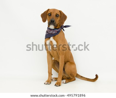 Adorable brown and white male hound mix dog wearing a blue bandanna sitting on white. Homeless shelter dog looking for a family.
