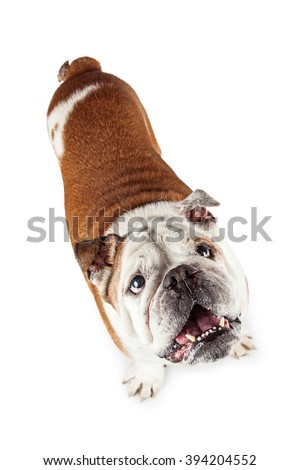 Adorable bulldog breed dog looking up with mouth open and attentive expression - stock photo