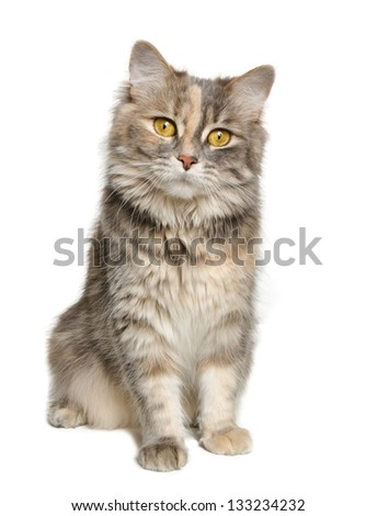 Adorable calico cat looking at the camera isolated over white background