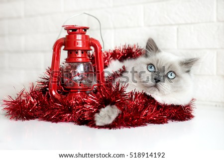 adorable cat posing indoors for Christmas