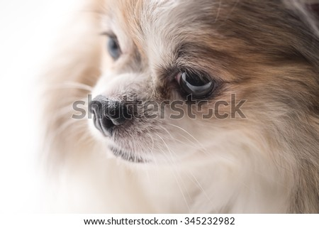 Adorable chihuahua breed dog in white brown hair color for pet background  - stock photo