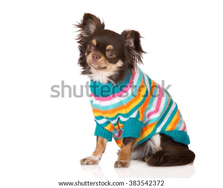 adorable chihuahua dog in a striped sweater - stock photo