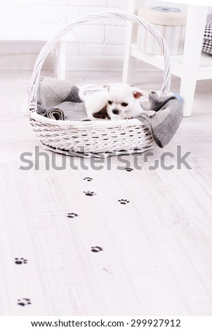 Adorable chihuahua dog in basket and muddy paw prints on wooden floor in room - stock photo