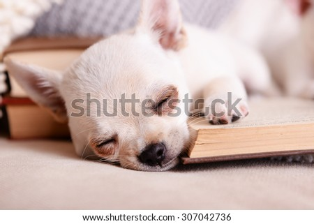 Adorable chihuahua dog with books on sofa - stock photo