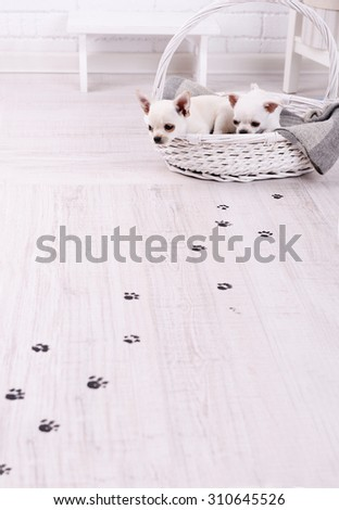 Adorable chihuahua dogs in basket and muddy paw prints on wooden floor in room - stock photo