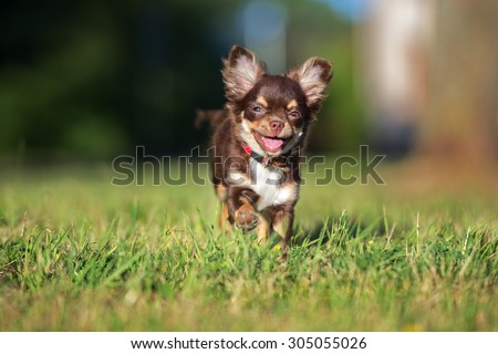 adorable chihuahua puppy running - stock photo