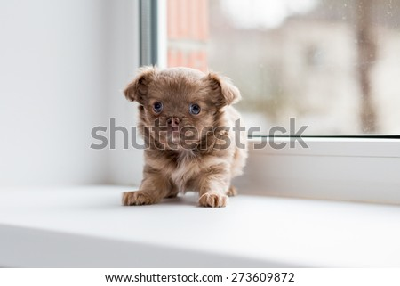 Adorable chihuahua puppy standing on the windowsill.  - stock photo
