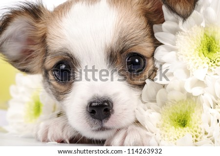 adorable Chihuahua puppy with white flowers close-up - stock photo