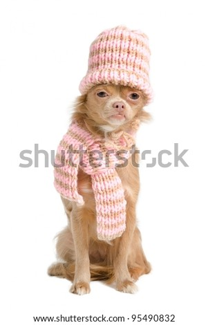 Adorable chihuahua with handmade hat and scarf