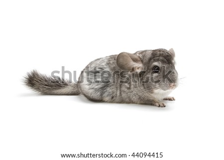 Adorable chinchilla isolated on a white background