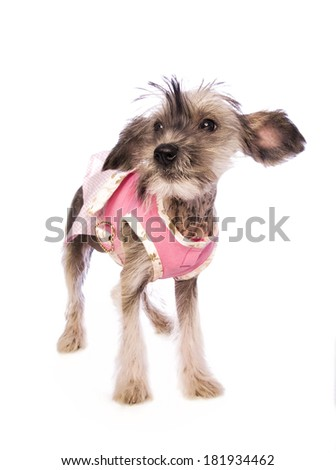 Adorable Chinese Crested hairless puppy standing wearing pink dress isolated on white background