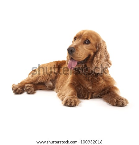 Adorable Cocker Spaniel isolated on white - stock photo