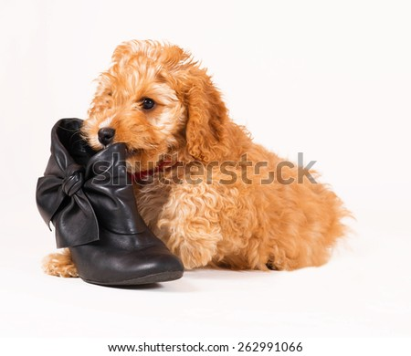 Adorable Cockerpoo puppy. It is a mixed dog breed between Cocker Spaniel and Poodle. The little pet is eight weeks of age. The puppy is lying beside a black shoe. - stock photo