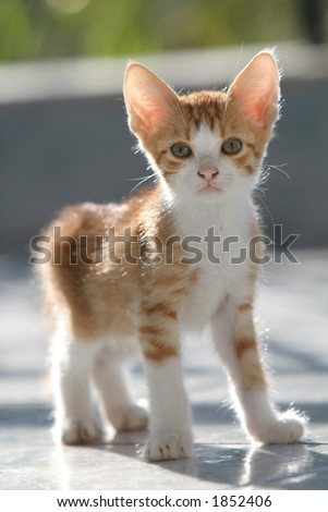 Adorable curious kitten standing and looking into the camera (shallow DOF) - stock photo