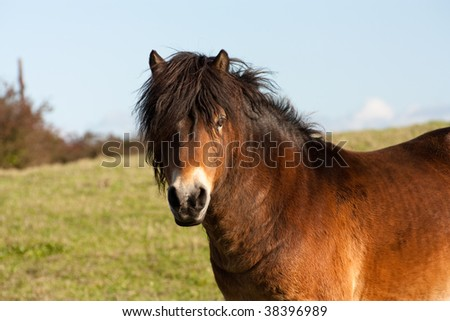 Adorable cute brown shaggy Horse or Pony in field
