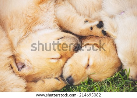 Adorable Cute Golden Retriever Puppies Sleeping in the Yard - stock photo