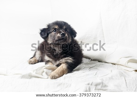 Adorable cute little puppy dog against a white sheet background. - stock photo