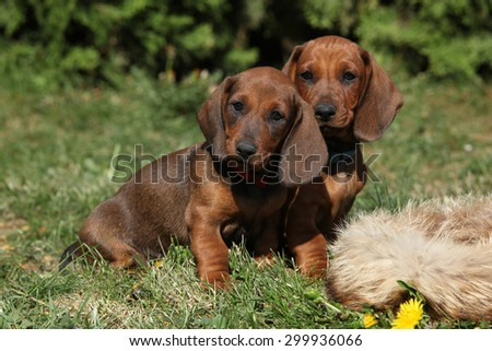 Adorable Dachshund puppy sitting in the garden alone - stock photo