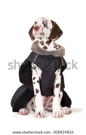 adorable dalmatian puppy in a winter jacket