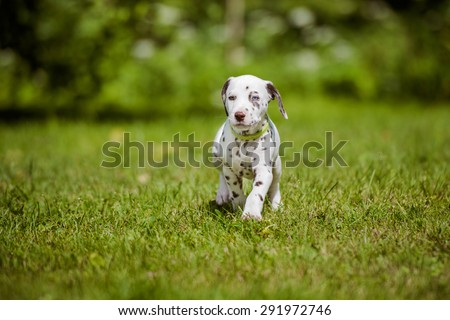 adorable dalmatian puppy outdoors in summer