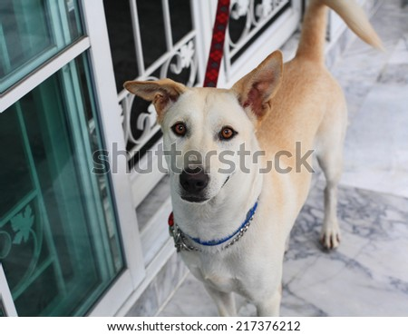 Adorable dog tied to the red chain - stock photo