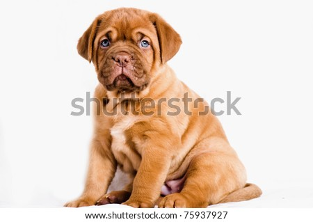 adorable dogue de bordeaux puppy - stock photo
