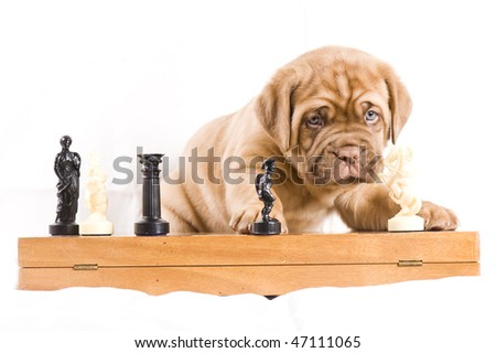 adorable dogue de bordeaux puppy plays chess