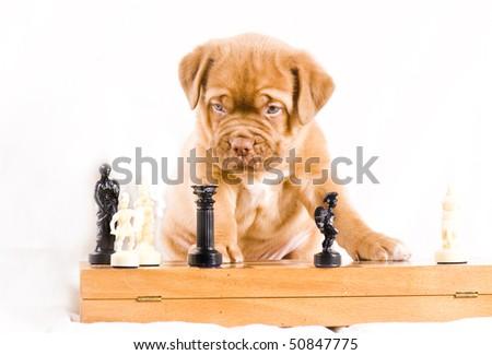 adorable dogue de bordeaux puppy plays chess - stock photo