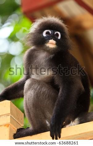 Adorable dusky leaf monkey sitting on a fence - stock photo