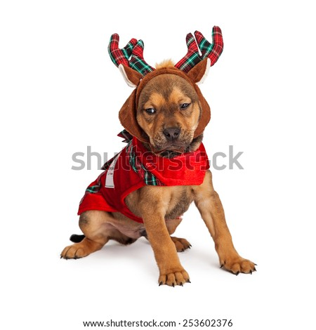 Adorable eight week old mixed Shepherd breed puppy dog dressed as a Christmas reindeer - stock photo