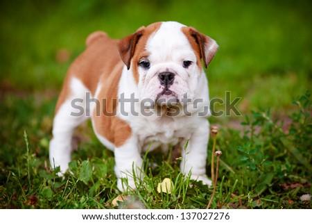 adorable english bulldog puppy outdoors - stock photo