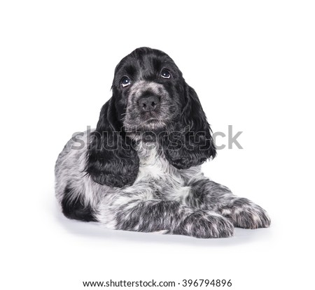 Adorable english cocker spaniel puppy looking up isolated on white - stock photo