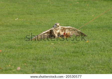 Adorable falcon is hunting some food on green grass in a nature park - stock photo