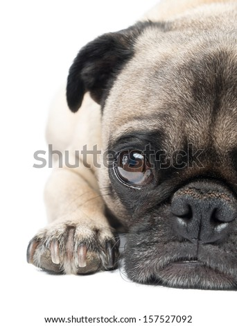 Adorable Fawn Pug Dog Isolated on a White Background, Close up - stock photo