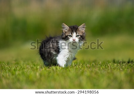 Adorable fluffy kitten outdoors in summer