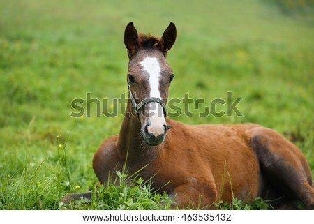 Adorable foal lying on grass, summer time
